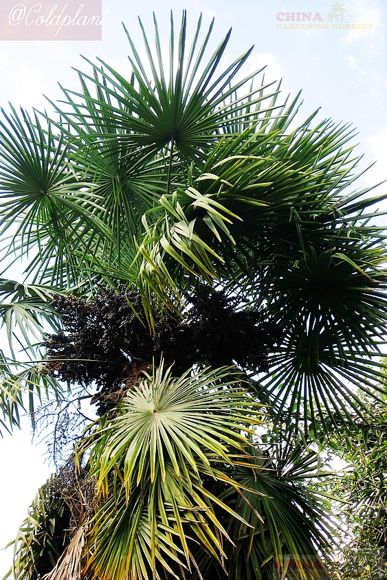 trachycarpus fortunei winsan seeds seedlings price and photos from. Black Bedroom Furniture Sets. Home Design Ideas